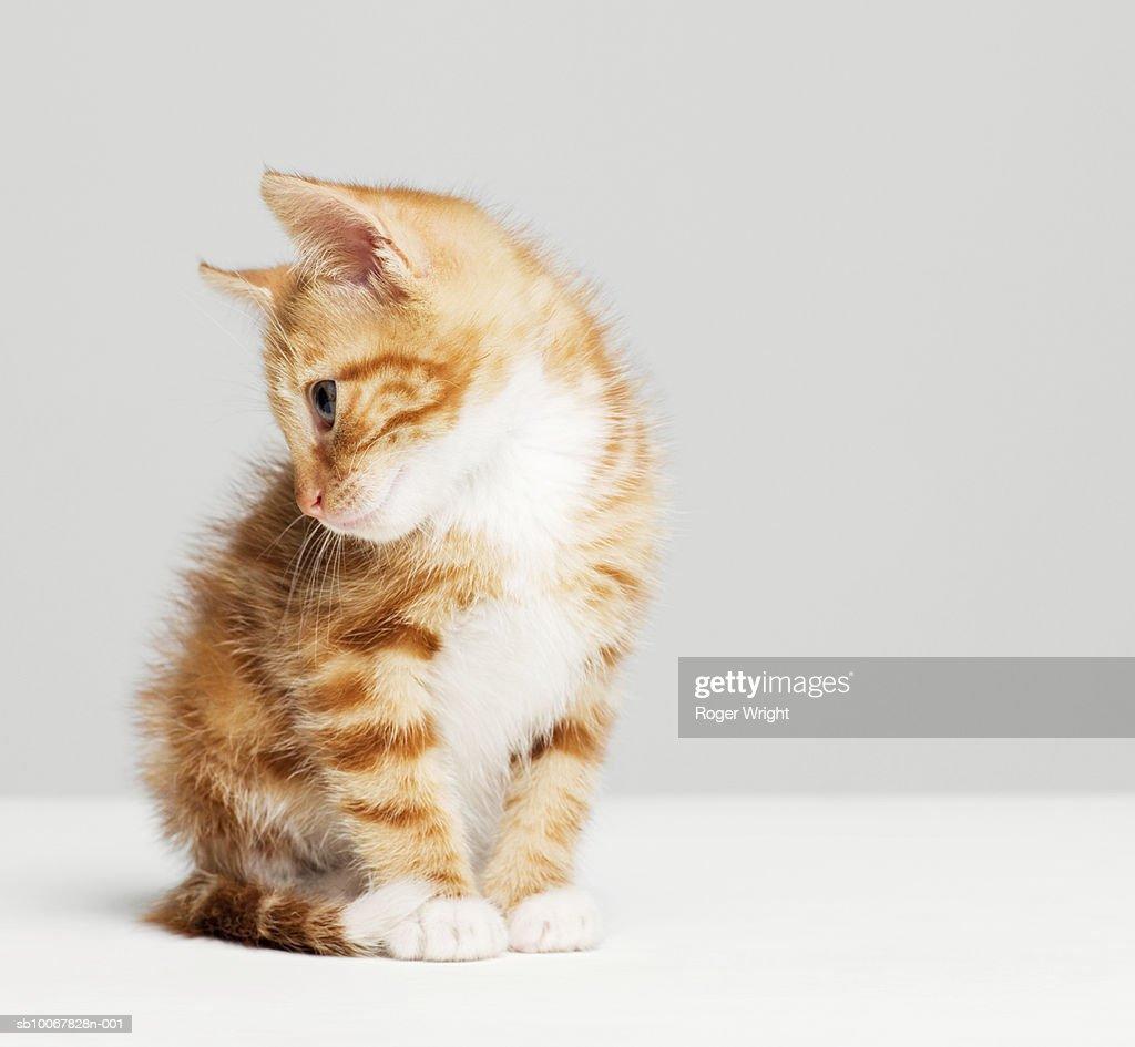 Ginger kitten sitting in studio