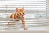 Red kitten tangled in window blinds
