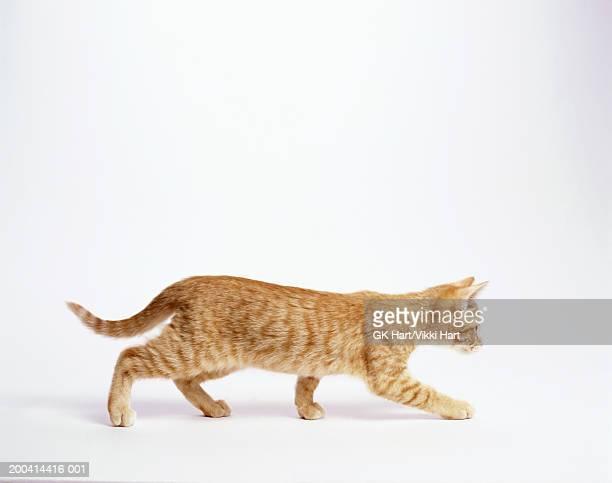 Ginger kitten walking, white background, side view