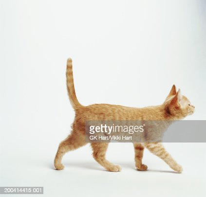 Ginger kitten walking with tail up, side view : Stock Photo
