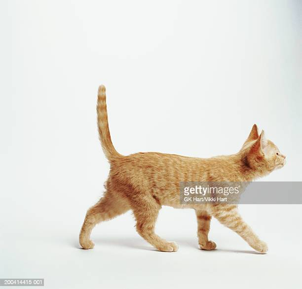 Ginger kitten walking with tail up, side view
