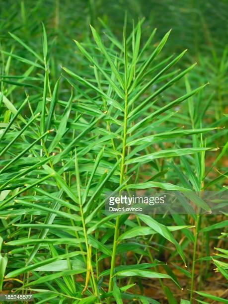Ingwer-plant