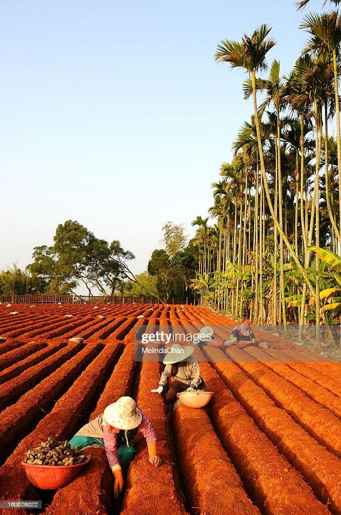 Ginger Plantation : Stock Photo