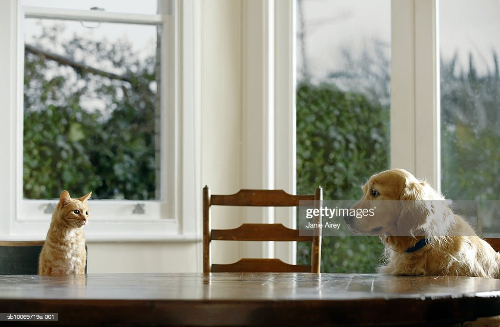 Ginger tabby cat and golden retriever sitting at dining table : Stock Photo