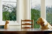 Ginger gato atigrado y golden retriever sentado en la mesa de comedor
