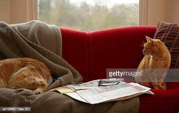 Ginger Getigerte Katze Katze Blick in die golden retriever Schlafen auf sofa