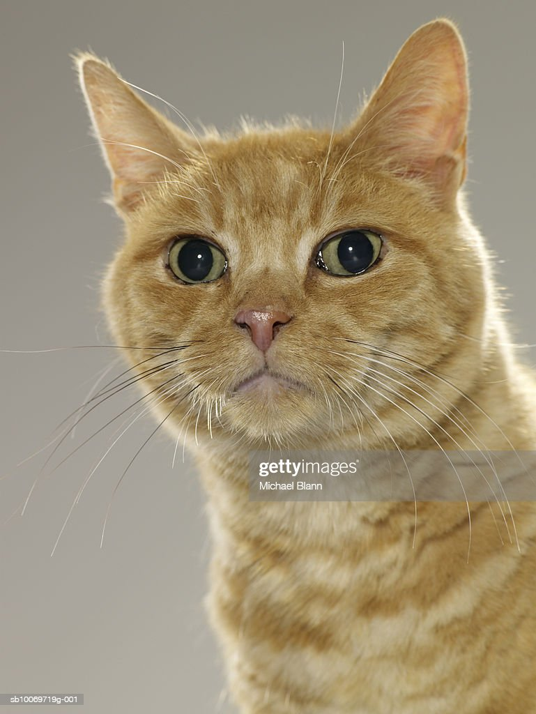 Ginger tabby cat, portrait, close-up : Stock Photo