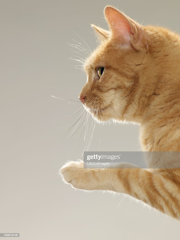Ginger tabby cat raising paw, close-up, side view : Stock Photo