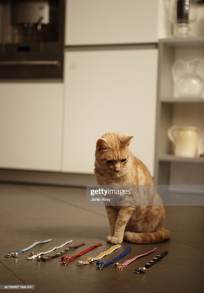 Ginger tabby cat sitting on floor looking at collars : Stock Photo
