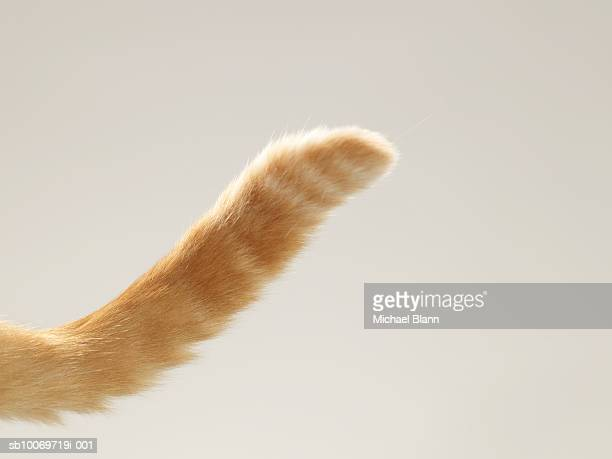 Ginger tabby cat tail, close-up