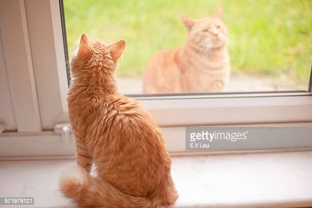 Ginger tom cat looking out from windowsill whilst another ginger tom cat looks in
