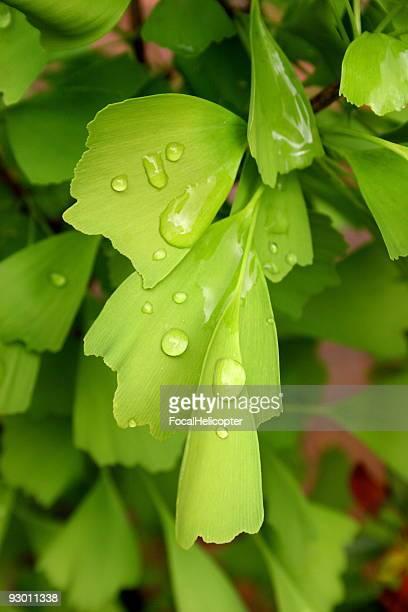 Gingko Biloba Ginko Chinese medicinal plant
