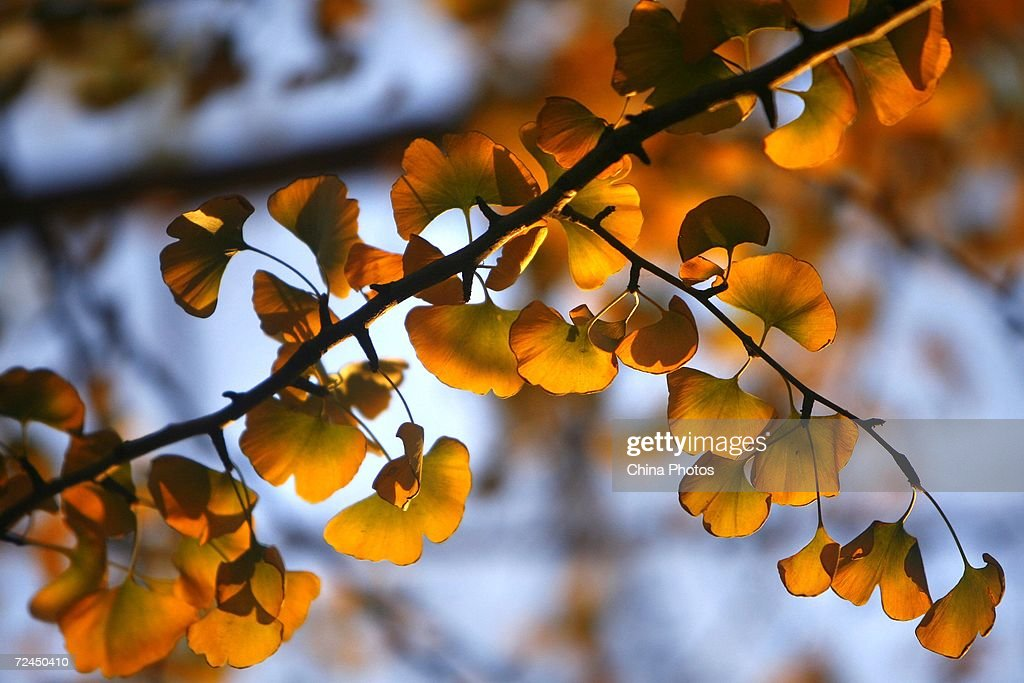 Gingko leaves are seen on November 8 2006 in Beijing as autumn arrives in the Chinese capital