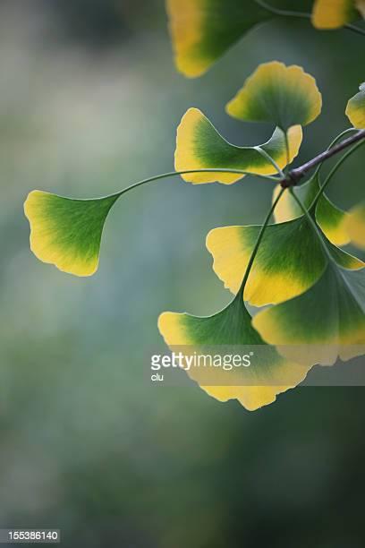Gingko leaves at the tree