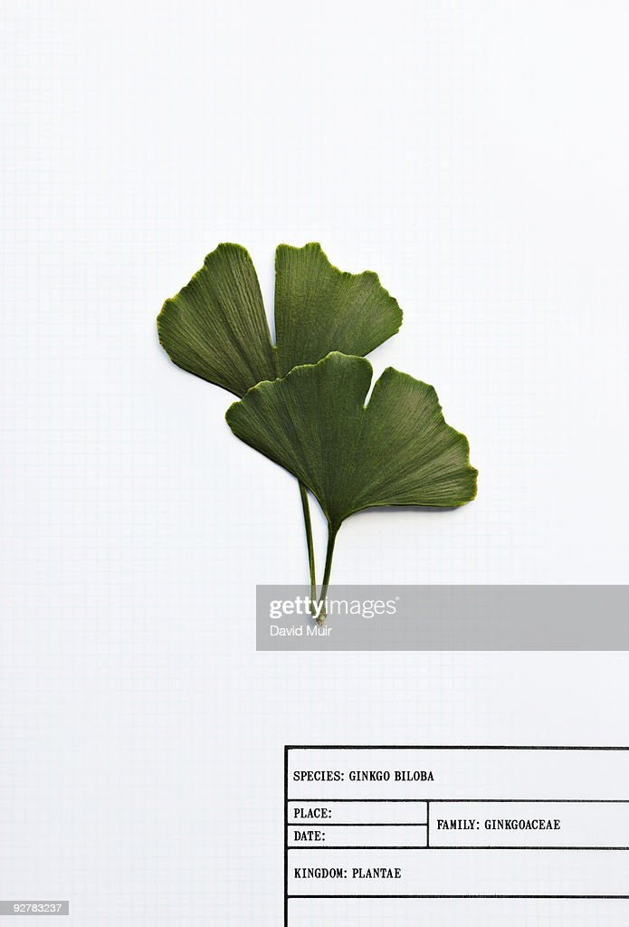 ginkgo biloba leafs : Stock Photo