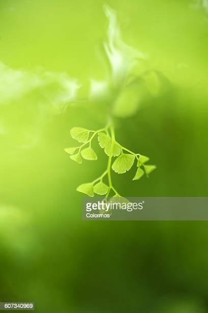 Ginkgo leaf sprouting