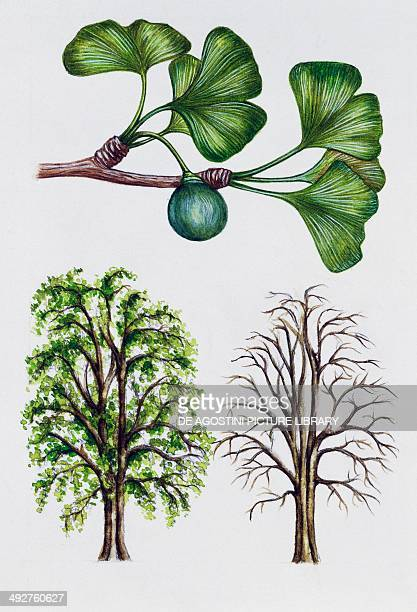 Ginkgo or Maidenhair tree Ginkgoaceae tree with and without foliage leaves flowers and fruit illustration