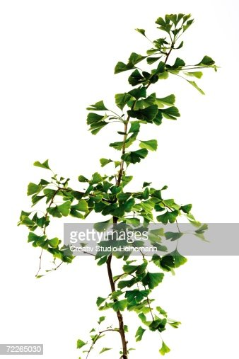 Ginkgo tree, close-up