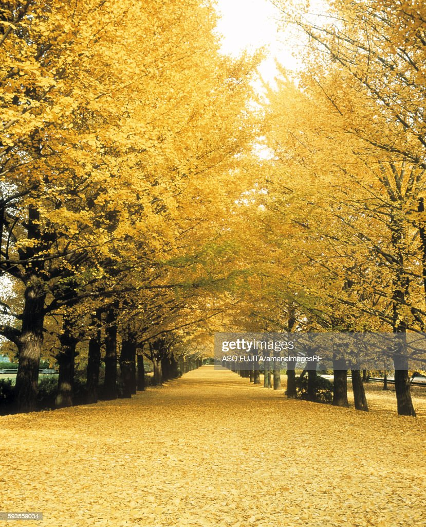 Ginkgo treelined road, Tachikawa-shi, Tokyo Prefecture, Japan
