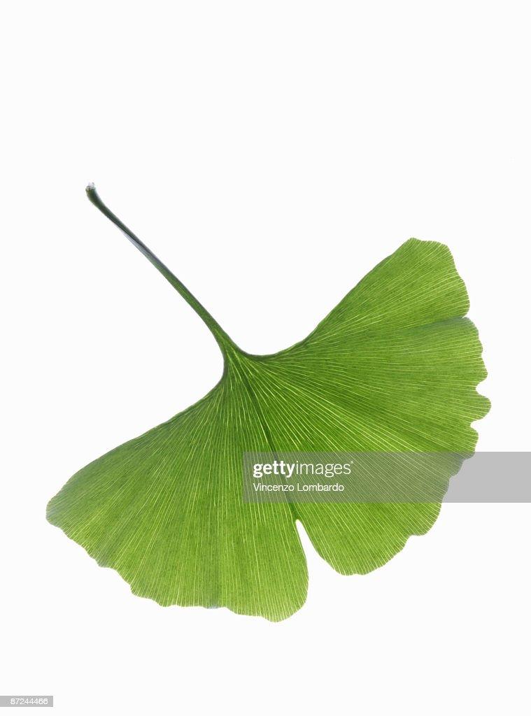 Ginko Leaf (Ginko Biloba)