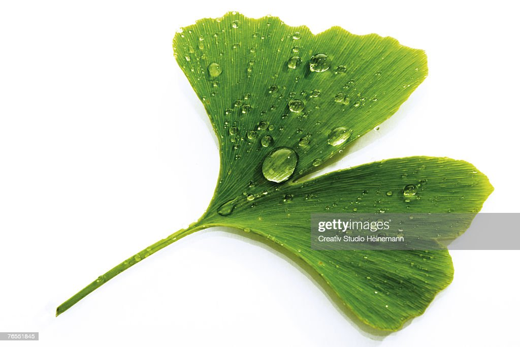 Ginko leaf with water drops, close-up