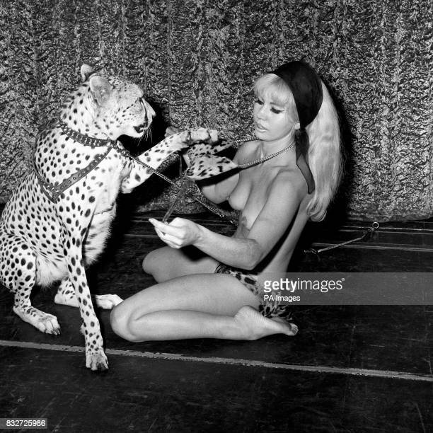 Ginni the 23 month old Cheetah who in a new act at the West End's Raymond Revue Bar gradually disrobes Australian dancer Rita Allen a former beauty...