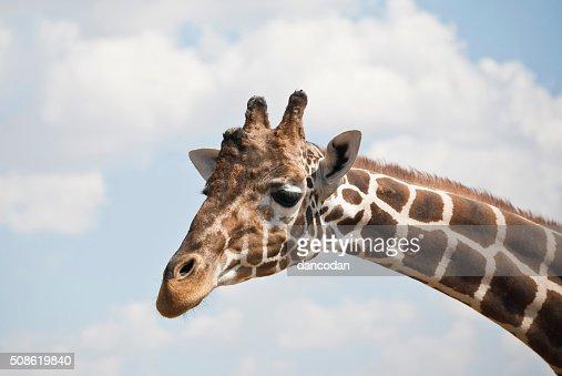 girafa : Stock Photo