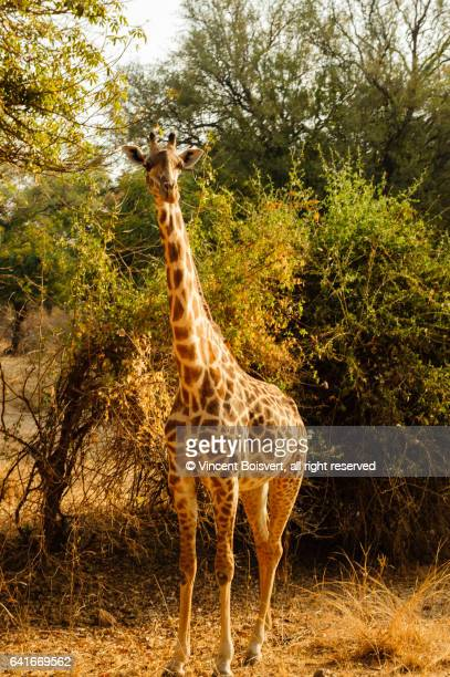 Girafe in South Luangwa national park in Zambia