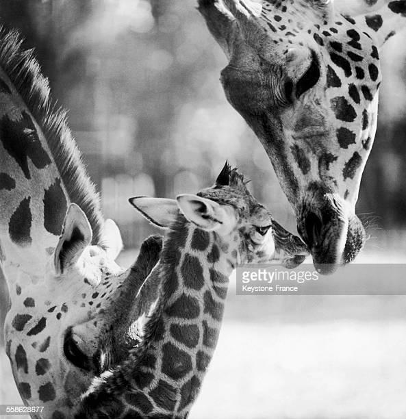Girafe mère et petit