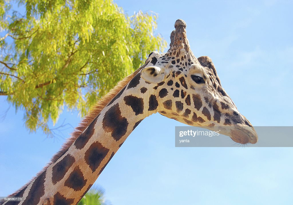Girafee against a blue sky : Stock Photo