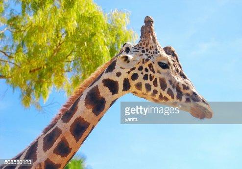 Girafee against a blue sky : Bildbanksbilder