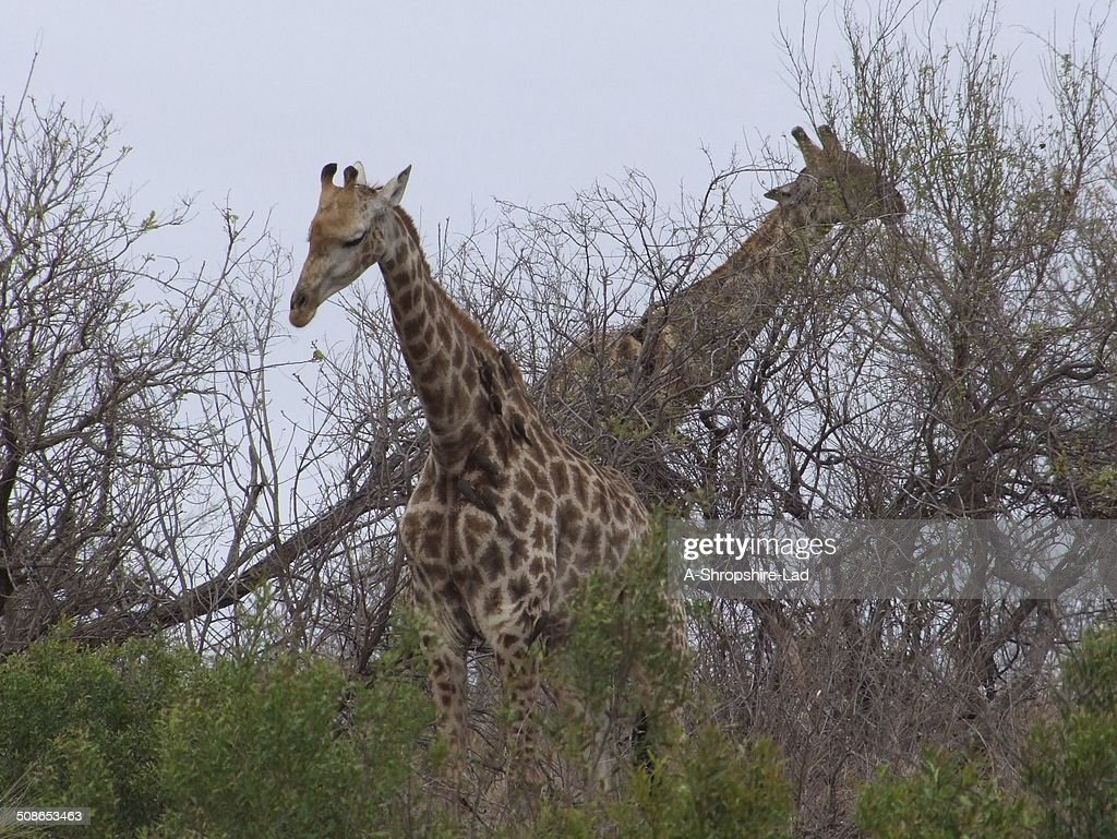 Giraffe 009 : Stock Photo