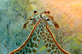 Giraffe African safari animals wildlife nature savanna wilderness Kruger patterns