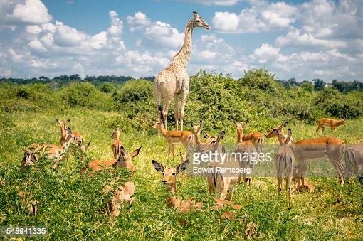 Giraffe and impala grazing together