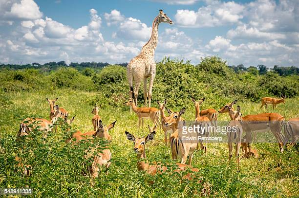 Giraffe and impala grazing together
