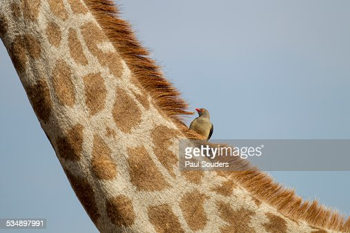 Giraffe and Red-Billed Oxpecker, Botswana