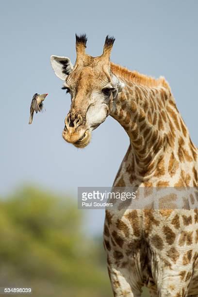 Giraffe and Red-Billed Oxpecker, Botswana