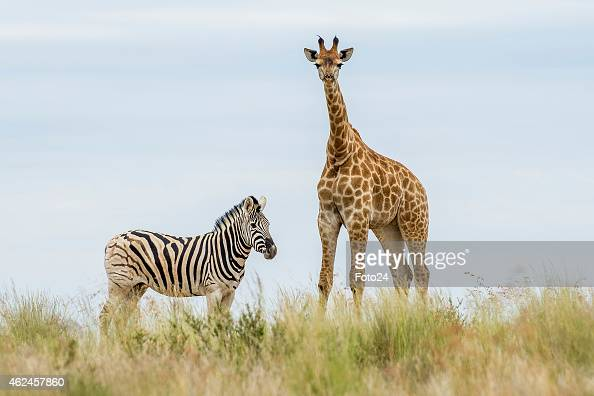 zebras and giraffes - photo #32