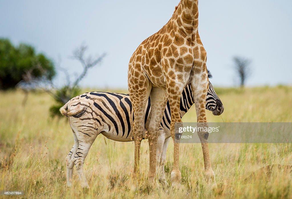 weird giraffe pictures impremedianet