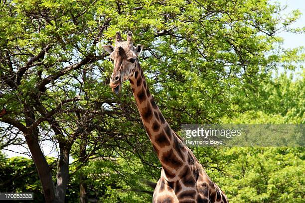 Giraffe at Lincoln Park Zoo in Chicago Illinois on MAY 29 2013