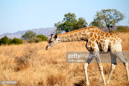 Giraffe at Pilanesberg National Park