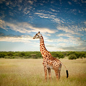 Giraffe at Serenget in National Park,Tanzania