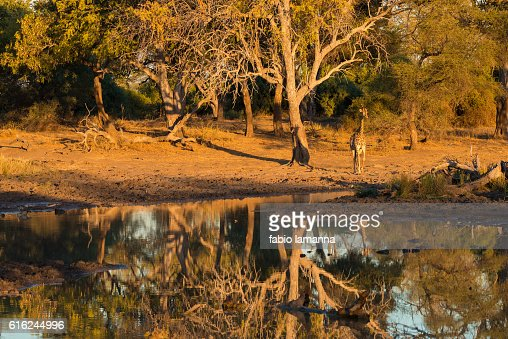Giraffe at sunset Mapungubwe National Park, South Africa : Stock Photo
