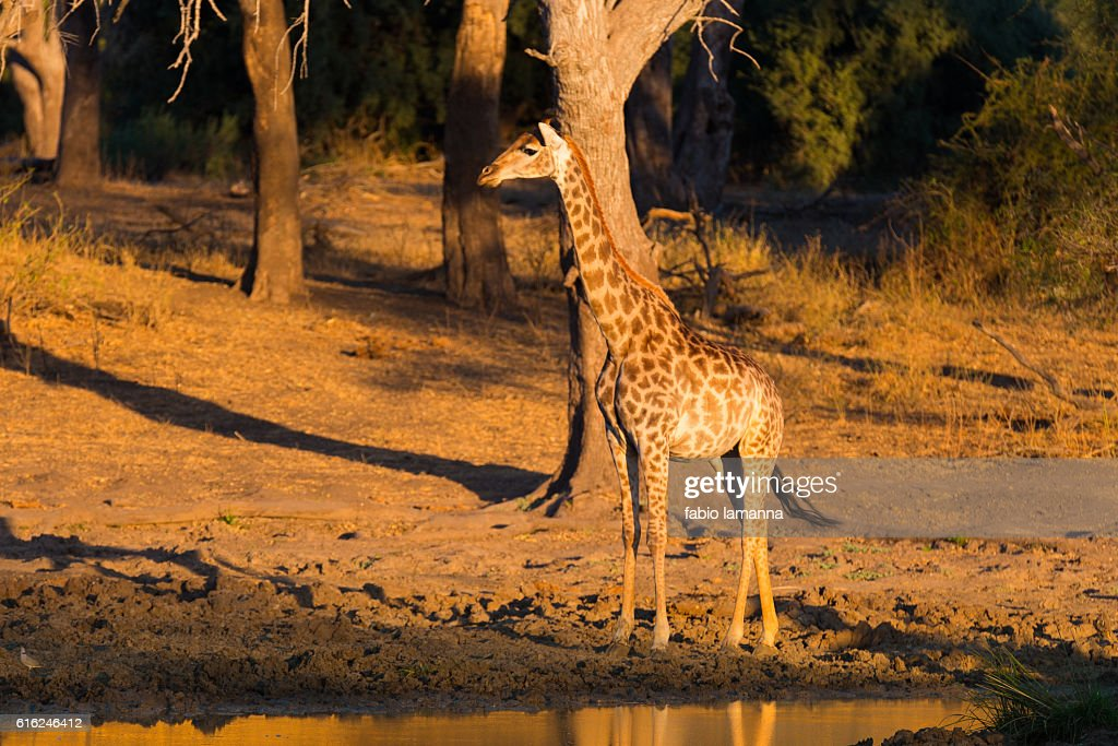 Giraffe at sunset Mapungubwe National Park, South Africa : Foto de stock