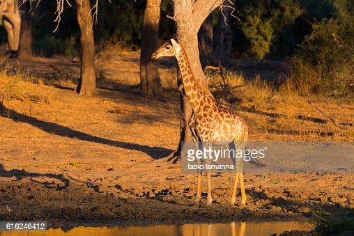 Giraffe at sunset Mapungubwe National Park, South Africa : Foto de stock