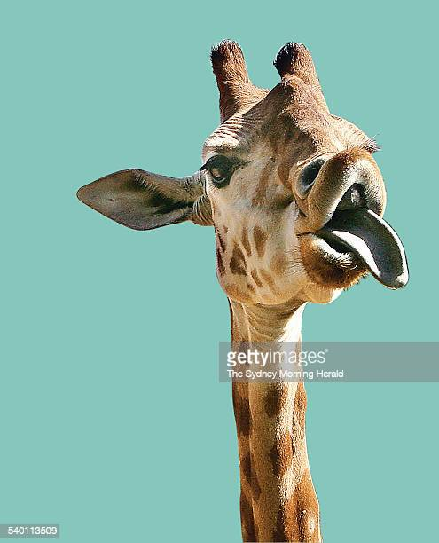 A giraffe at Taronga Zoo sticks its tongue out 14 September 2006 SMH Picture by ROBERT PEARCE