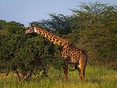 Giraffe browsing in Tarangire National Park, Tanzania