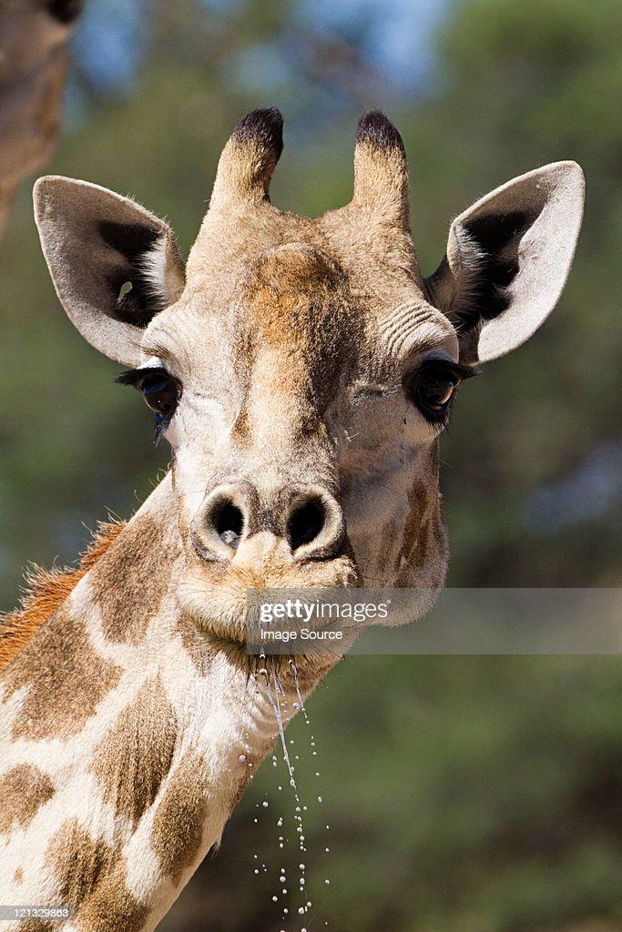 Giraffe, close up : Stock Photo