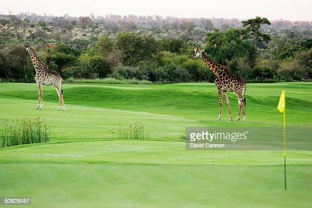 Giraffe cross the 1st hole at dusk at The Leopard Creek Country Club Golf on July 04 2004 in Malelane South Africa