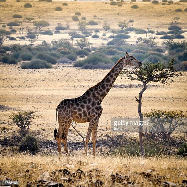 Giraffe eating leaves on a tree in Damaraland,Namibia